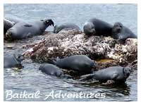Baikal Seals (nerpa), The travel information about Lake Baikal, Mongolia, Buryatia, activities, ecological adventures, individual tours in the Baikal region.